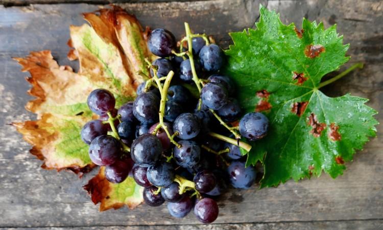 Weintrauben von der Hauslaube - Bild G.J. Dekas (c) 2020