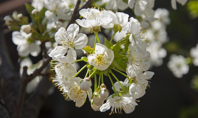 Kirschblüte, Bild:  pixmartin/Pixabay