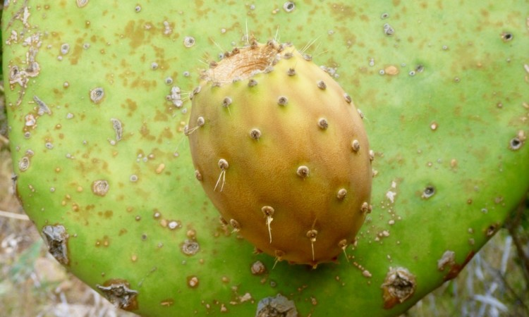 Kaktusfeige - Figue de Barbarie - Fico d'India - Bild G.J. Dekas  (c) 2018